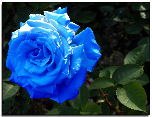 ecco la rosa blu l ogm romantico. Black Bedroom Furniture Sets. Home Design Ideas