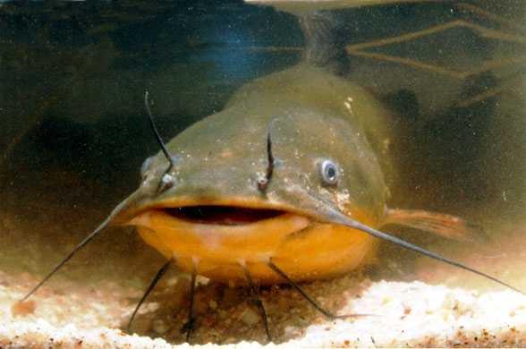 Una favola edo il pescegatto che si comporta come un cane for Pesce gatto acquario
