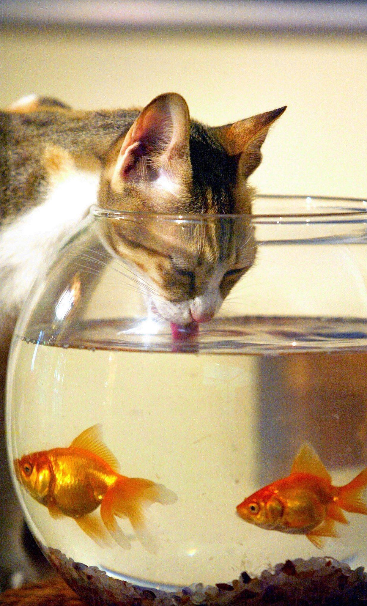 картинка кот у аквариума с рыбками вероятность, что домой