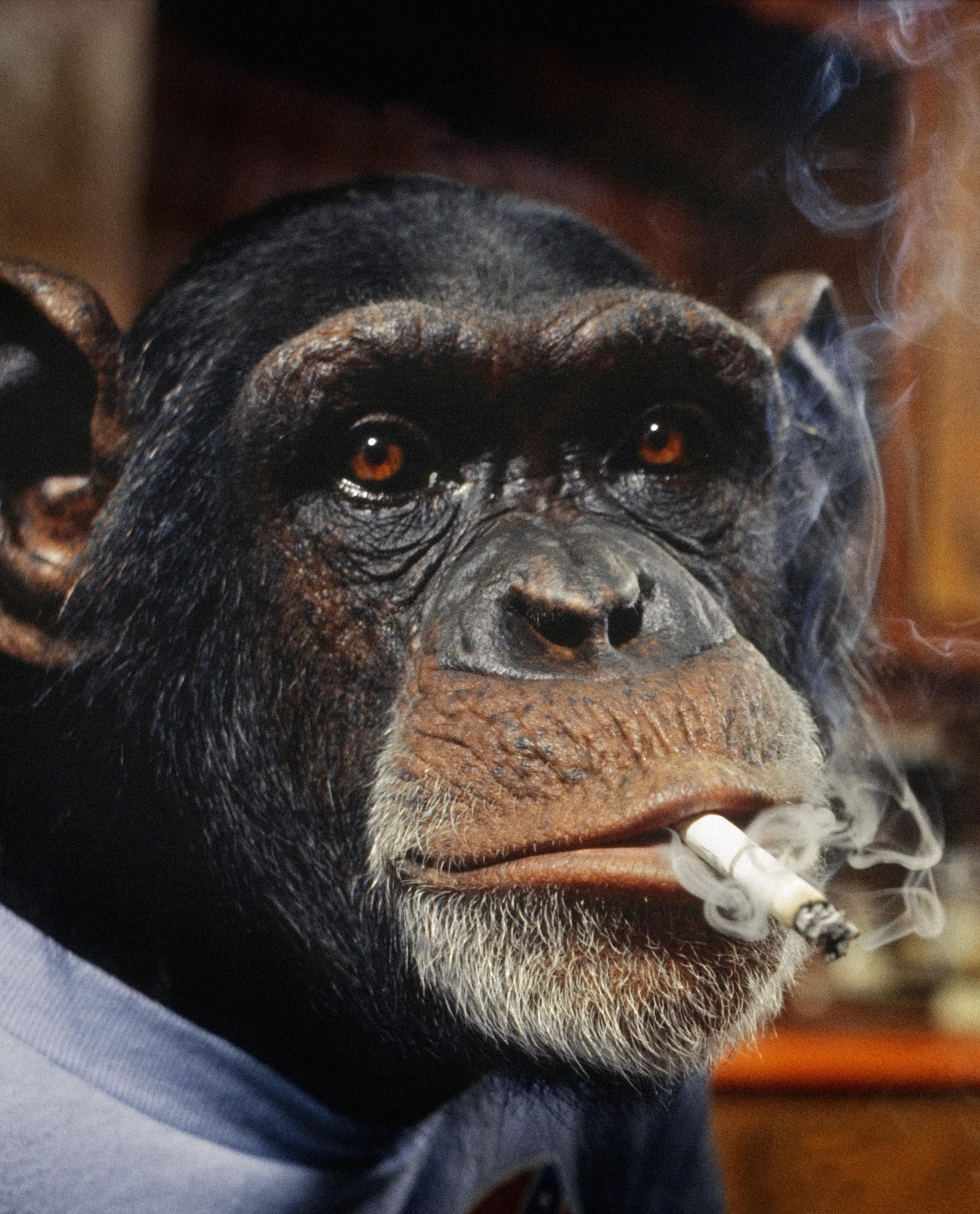 La scimmia che fuma tradita dal cuore ma non dalle bionde - Scimmia che si guarda allo specchio ...