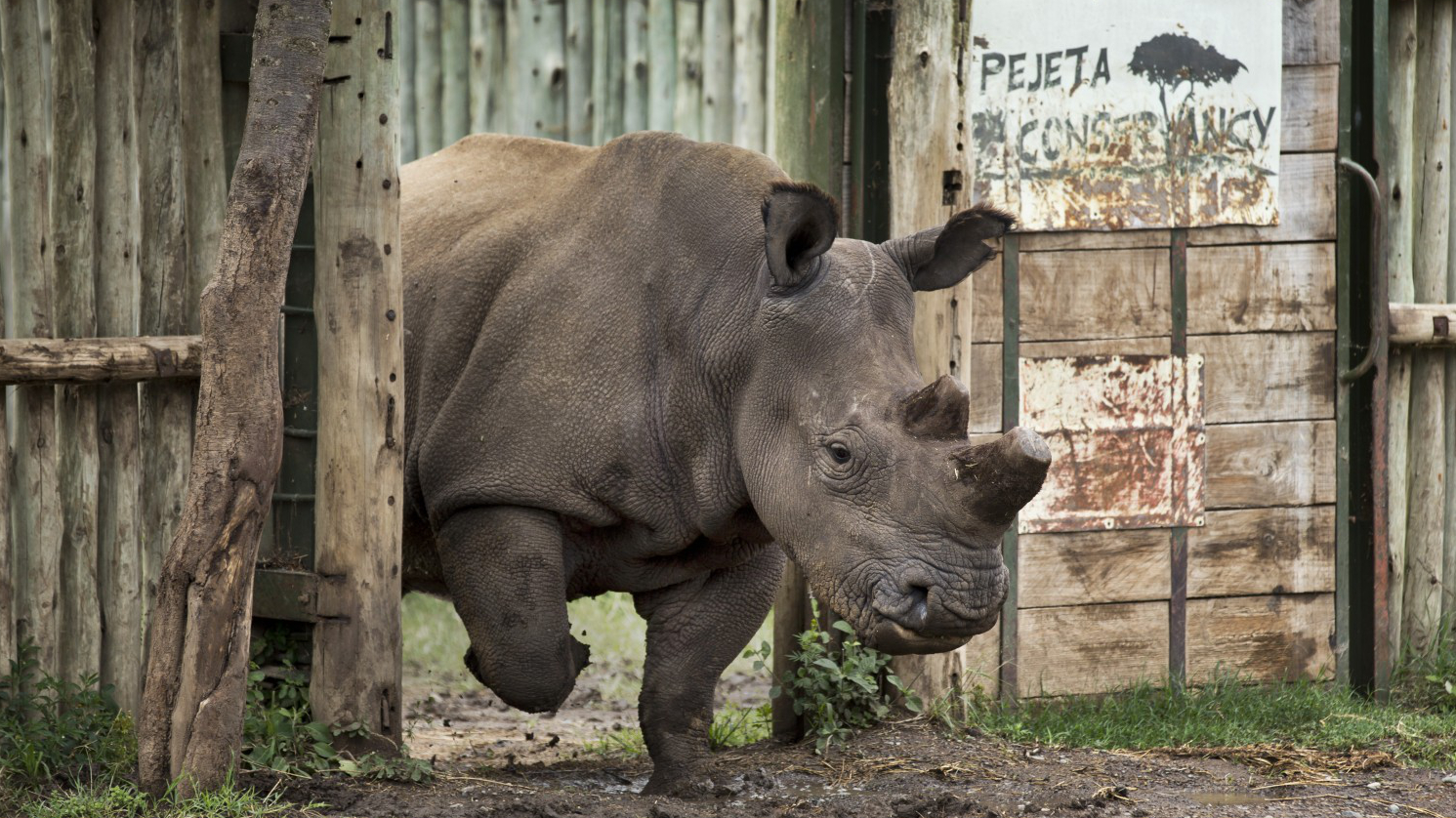 700 rinoceronti senza corno per salvarli dal bracconaggio for Mercato del mobile usato milano