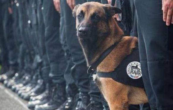 Attentati a parigi blitz a saint denis cane poliziotto ucciso dai terroristic - Cane allo specchio ...