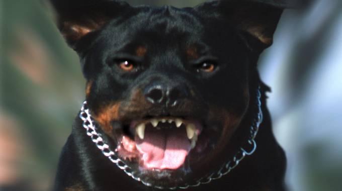 Immigrato aizza il cane contro forze dell 39 ordine - Cane allo specchio ...