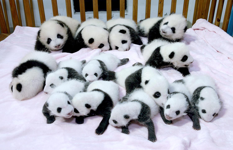 I panda sono un po' più lontani dall'estinzione, ma ora rischiano gorilla, scimpanzè ed elefanti