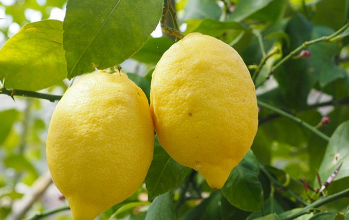Gli agrumi a 3 euro al chilo: così spariscono i nostri limoni