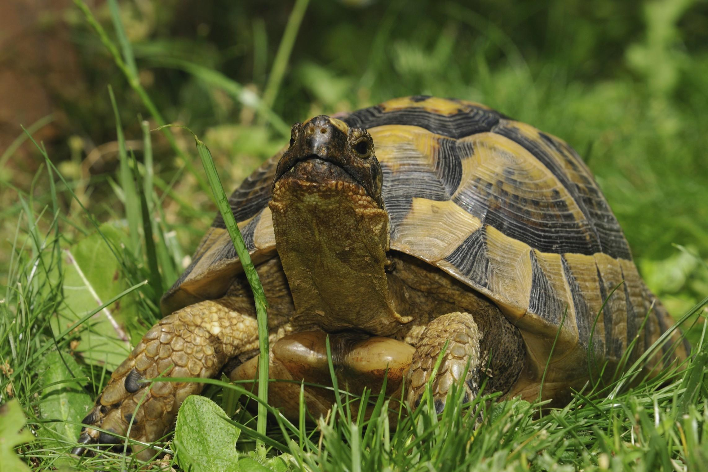Milano abbandonata una tartaruga azzannatrice molto for Vasca tartarughe vendita