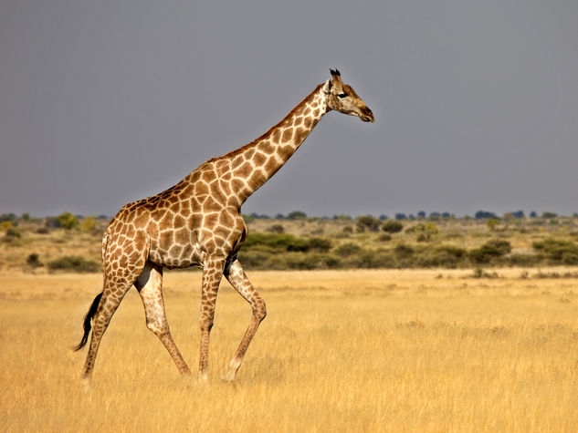 Torre dell 39 orso giraffa scappa dal circo e si aggira tra for Affittare una cabina nel grande orso
