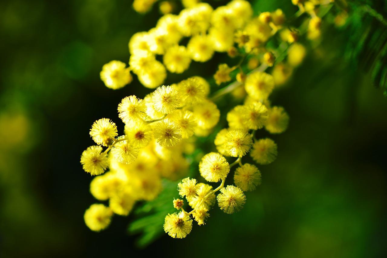 Mimosa benefici propriet e curiosit del fiore delle for Nomi delle donne della politica italiana