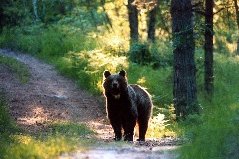 Trento un uomo aggredito da un orso for Affitti cabina grande lago orso