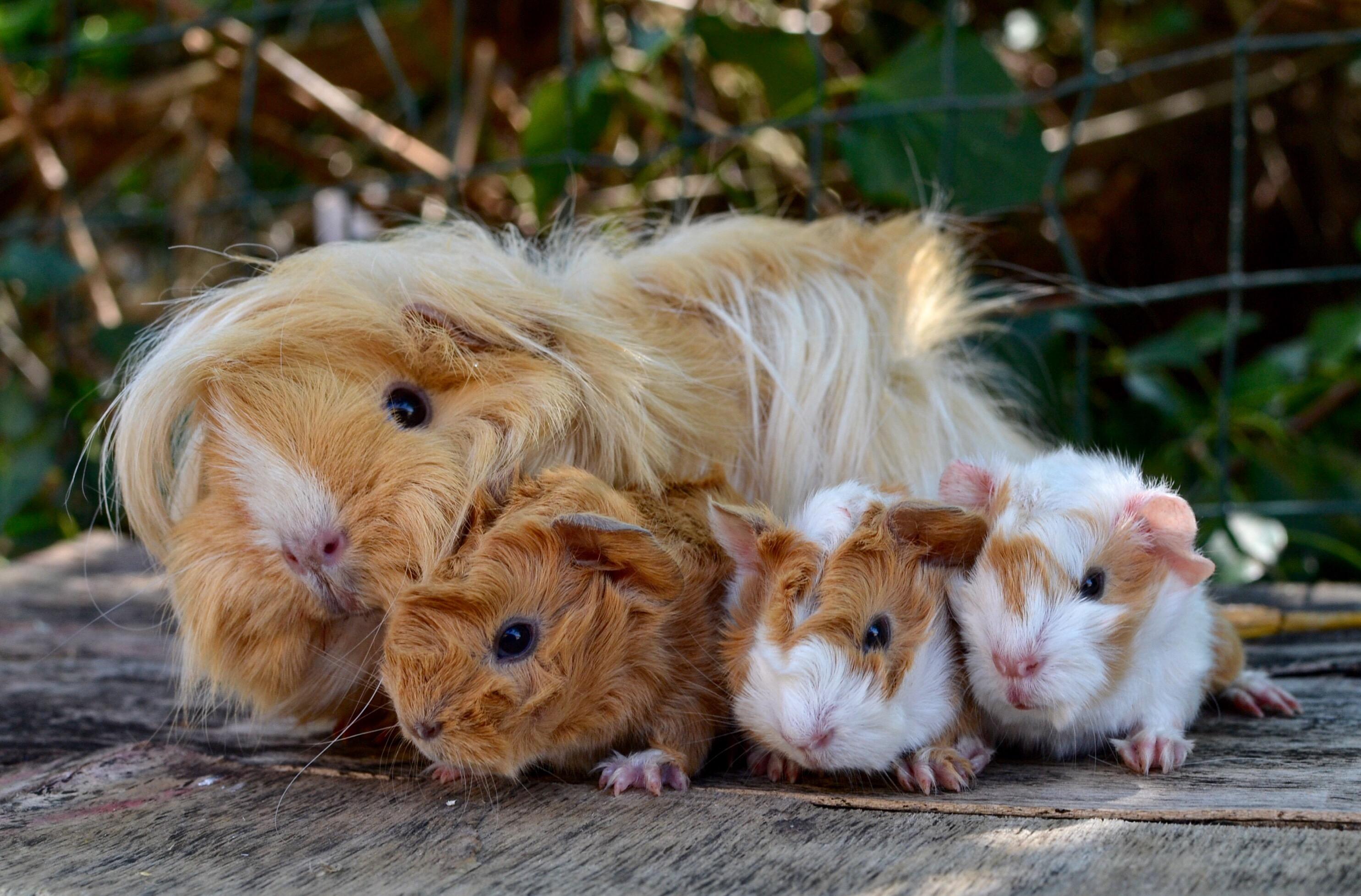 Porcellini d 39 india e topi ecco 10 animali esotici a for Porcellino india