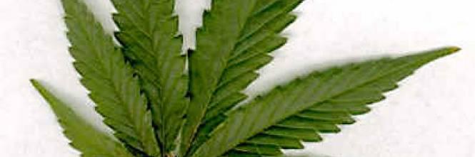 Cassazione se la marijuana ornamentale non reato for Piccole piantagioni