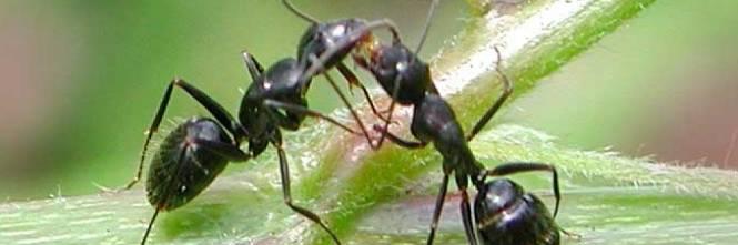 N maschi n sesso la vita delle formiche for Debellare formiche