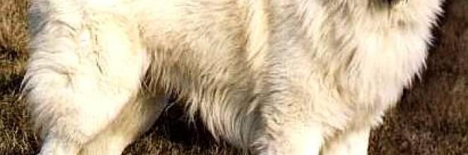 Il cane eroe dei terremotati si suicidato dalla scogliera - Cane allo specchio ...
