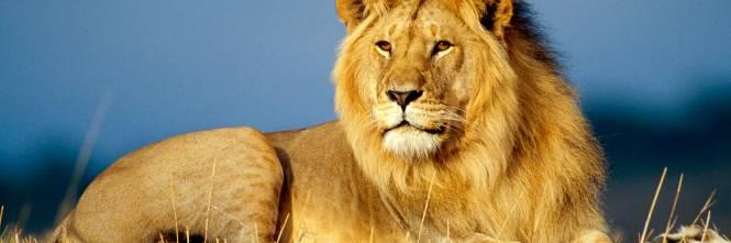 La bufala stagionata ovvero il leone dentro il frigorifero for Immagini leone hd