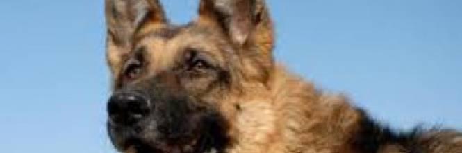 Ecco il super cane dell 39 esercito che fiuta i tumori prima - Cane allo specchio ...