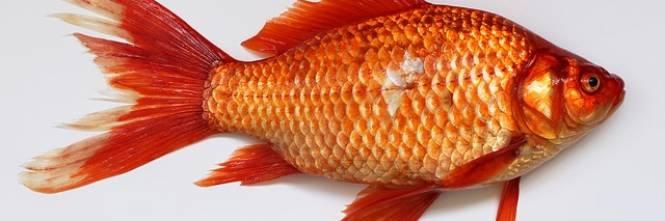 Vietato gettare pesci rossi nel wc for Razze di pesci rossi