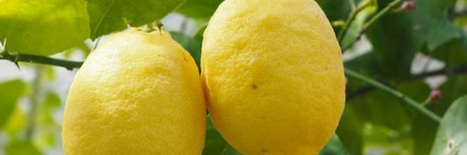 Gli agrumi a 3 euro al chilo cos spariscono i nostri limoni for Acquistare piante di agrumi