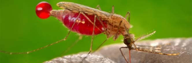 La zanzara anofele c 39 anche a milano le for Le zanzare non pungono i malati