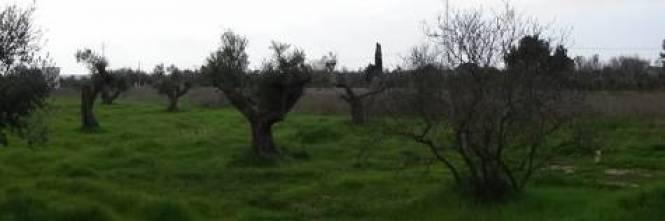 Calendario Trattamenti Olivo Puglia.Puglia L Allarme Xylella Si Estende Al Mandorlo Ilgiornale It