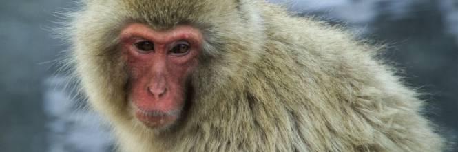 Gas di scarico testati sulle scimmie auto tedesche sotto