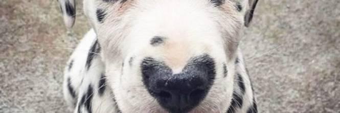 Il cucciolo di Dalmata che intenerisce il web 1