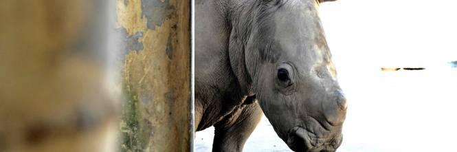 Taiwan, nato un cucciolo di rinoceronte bianco 1