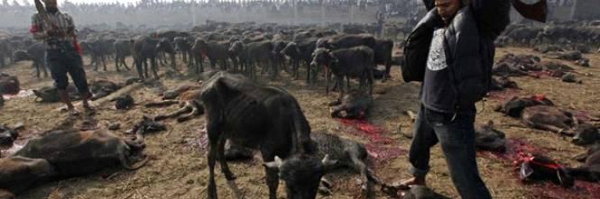 Nepal, al via festival indù noto come la più grande strage di animali al mondo