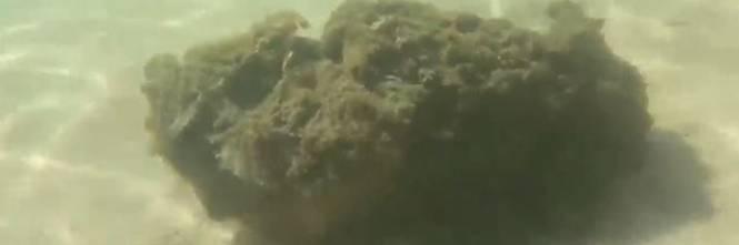 Attenti, queste non sono alghe ma uno degli animali più velenosi al mondo
