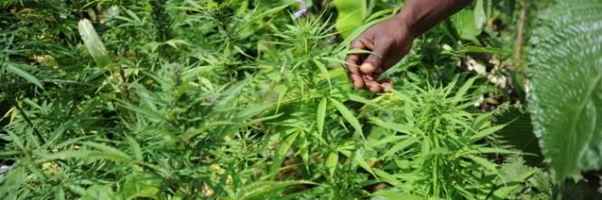Tra uragani e siccità la Giamaica resta a secco. E senza marijuana precipita anche l'economia