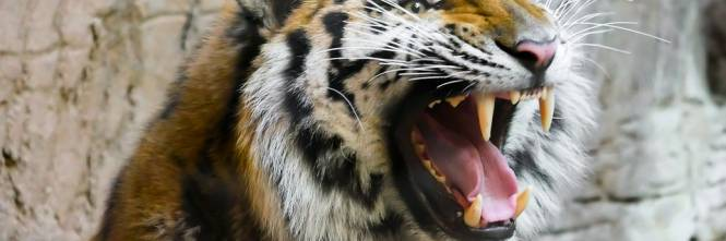 Calabria, immigrato nudo e sotto effetto di droghe entra nel recinto delle tigri