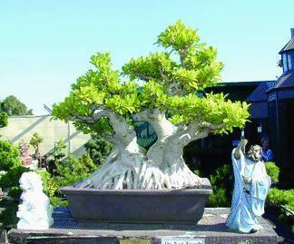 Aspettando Euroflora una mostra di bonsai