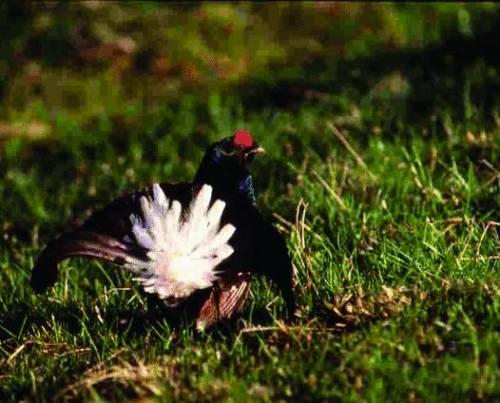La Liguria del gallo forcello