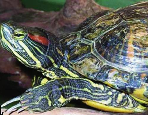 Il giallo delle tartarughe scomparse, denunciato il Comune di Cogorno