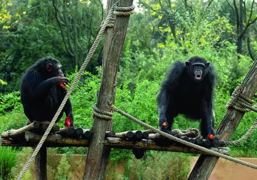 Al Bioparco colazione con gli scimpanzè