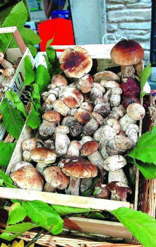 Allarme funghi velenosi: «Troppi cercatori inesperti»