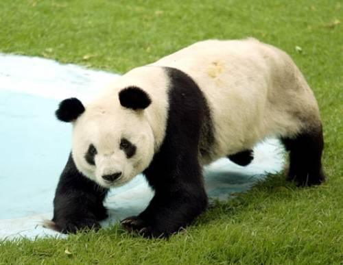 Giapponesi in lutto per Ling Ling  il panda gigante amato da tutti