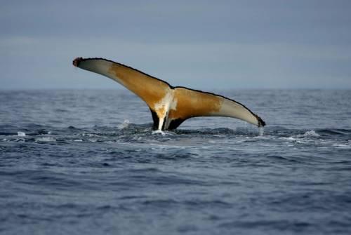 Aliante sottomarino all'ascolto delle balene: cantano perché hanno fame