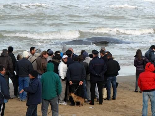 Puglia, capodogli spiaggiati: 7 morti