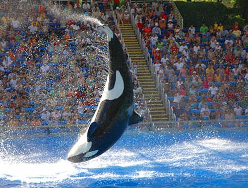 Orlando, parco acquatico  Orca uccide addestratrice  Tragedia con il pubblico