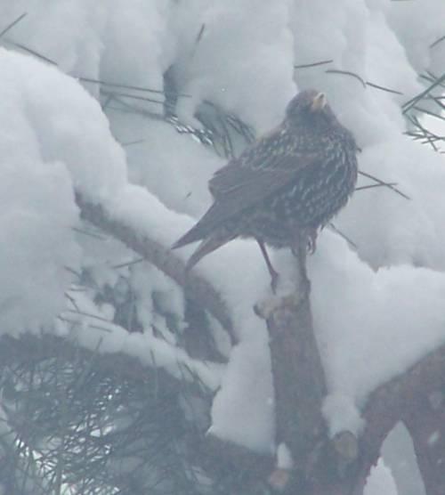 Uccelli sotto la neve: l'Enpa lancia l'appello per il cibo