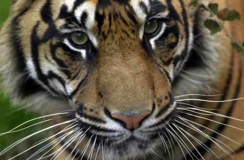 Tigri, rinoceronti e pangolini uccisi per una notte di sesso