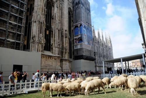 Le pecore in piazza Duomo per la campagna della lana