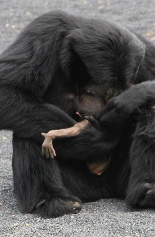RARISSIMOEcco il cucciolo  di «siamango»  nato a Torino