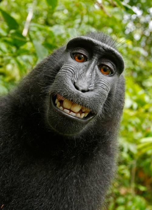 Se anche le scimmie aspirano a diventare fotografi