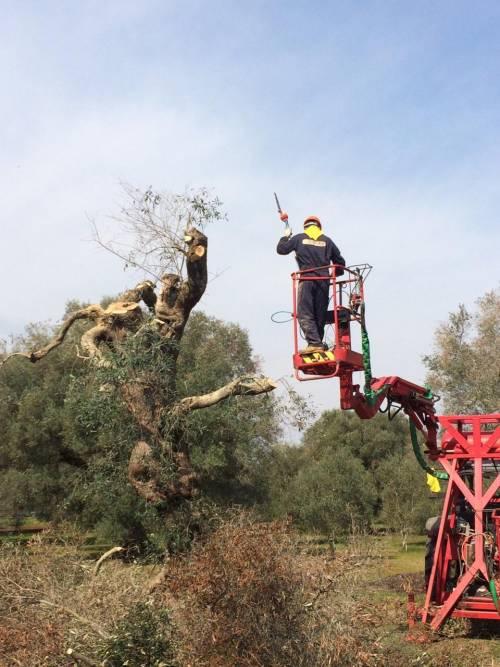 Gli ulivi salentini colpiti da Xylella 3