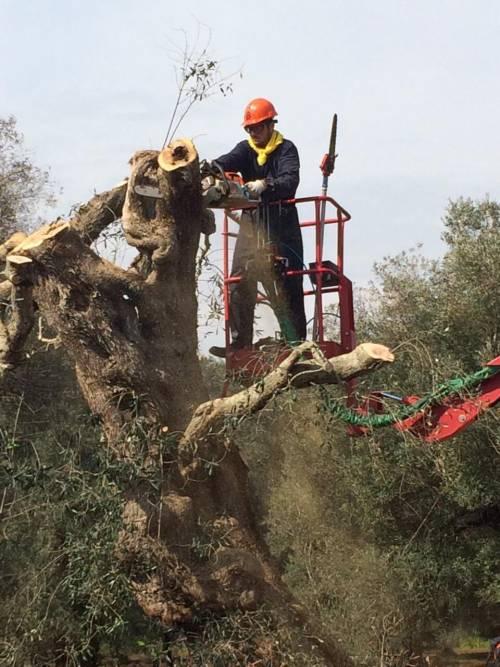 Gli ulivi salentini colpiti da Xylella 4
