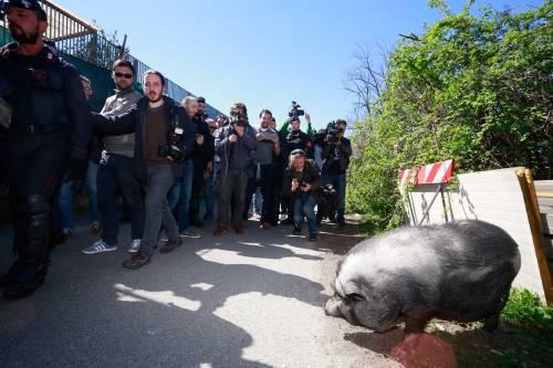 Salvini alle prese con un maiale nel campo Rom 2