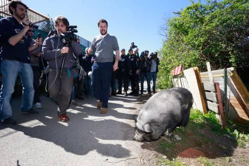 Salvini alle prese con un maiale nel campo Rom 4