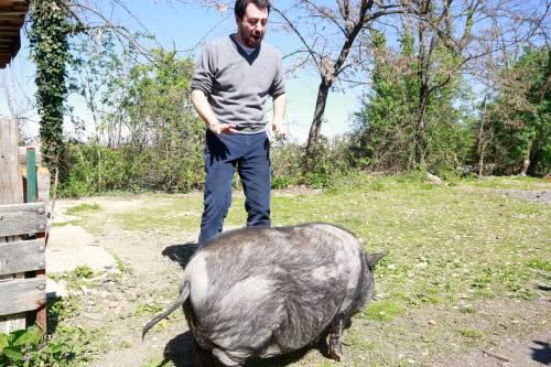 Salvini alle prese con un maiale nel campo Rom 3