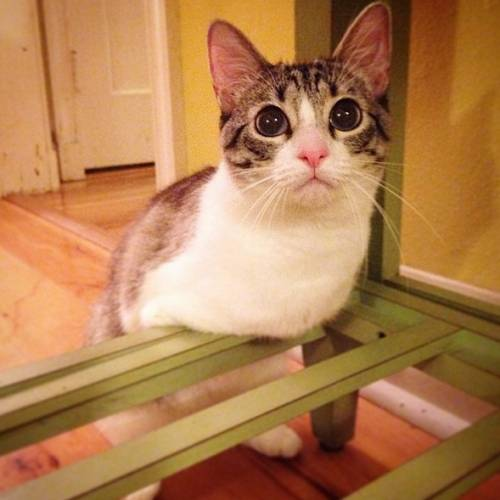 Roux, la gatta nata con due zampe 2